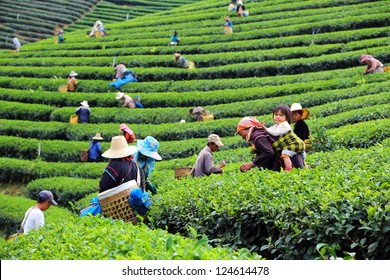 CHIANG RAI, THAILAND - DEC 24: Women from Thailand breaks tea leaves on tea plantation on December 24, 2012 on a tea plantation at Chui Fong , Chiang Rai, Thailand.