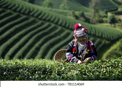 Chiang Rai, Thailand, Dec,10,2017: Young girl collecting tea leaves in the morning Time .hill tribe woman hold a basket to collect tea in the Tea leave garden. woman collecting tea in the plantation
