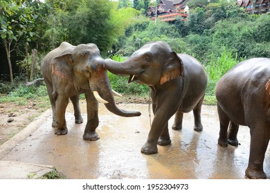 CHIANG RAI, THAILAND - JANUARY 8, 2017: Elephants at washing area at the Anantara Golden Triangle Elephant Camp, a charity designed to help elephants and their handlers.