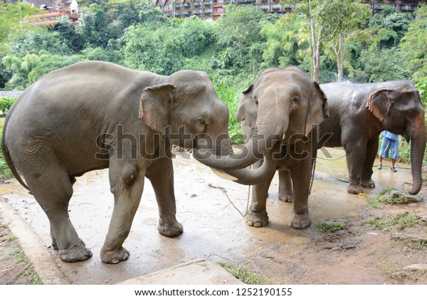 CHIANG RAI, THAILAND - JANUARY 8, 2017: Elephants at the Bathing Area at the Anantara Golden Triangle Elephant Camp, a charity designed to help elephants and their handlers.