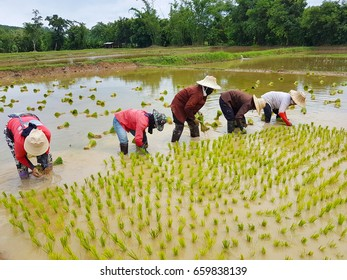 CHIANG RAI, THAILAND - JUNE 16 : Unidentified Thai farmers working paddy cultivation in the rice field on June 16, 2017 in Chiang rai, Thailand.