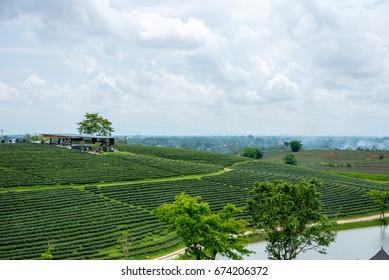 "CHIANG RAI, THAILAND - May 26, 2017: ""CHUI FONG"" green tea field, A plantation of Green tea and cafe on top mountain green tea field"