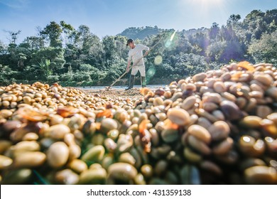 CHIANG RAI, THAILAND - Nov 18: Man from Thailand drying coffee beans on November 18 , 2015 on a coffee factory at Doi Chang , Chiang Rai, Thailand.