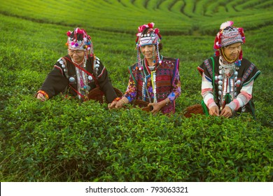 Chiang Rai-Thailand-December-17-2017:indigenous peoples were picking tea leaf at Green tea plantation field in Choui fong,Chiang rai, Thailand