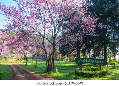 ChiangDao, Chaingmai, Thailand. - FEBRUARY, 2018 : People walking in the pink flower Sakura at Doi Luang Chiang Dao, Chaingmai, Thailand.(wooden sign is Den Ya Khad - Forest Protection Unit.)