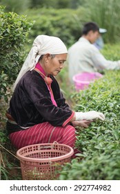 CHIANGMAI,THAILAND - JUNE 23 2015: : Unidentified Palaung farmers harvest tea leaves in their tea garden.Palaung people is an ethnic group living in northern of Thailand