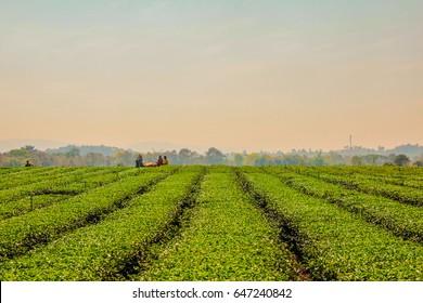 Chiangrai, Thailand - January 18, 2016 : At Singha Park, Farmer are harvesting green tea leaf by harvesting machine.