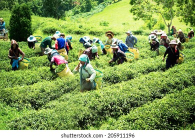 CHIANGRAI, THAILAND - JULY 12: Unidentified workers are harvesting tea leaves at Chiangrai province, Northern of Thailand on July 12,2014
