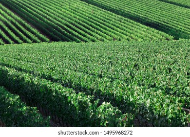 Chianti, Italy - 08/08/2014: cultivated field of vines in tuscany, which create geometric lines. Green exellent pattern of grapes