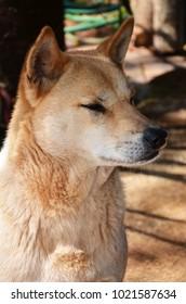A chiba dog