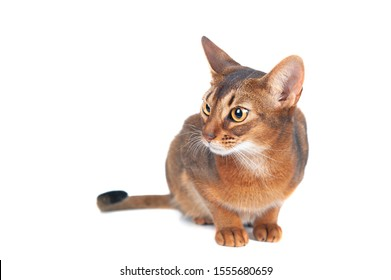 Chic abyssinian cat portrait isolated on white,  space for text