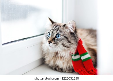 chic cat with a red scarf on the neck that lies on the window sill and looks through the window.