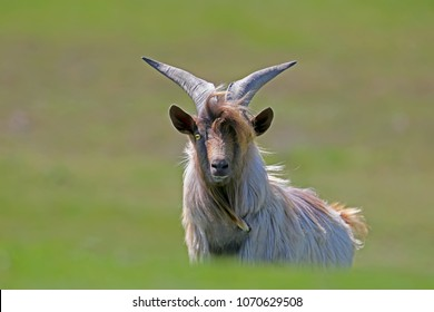 A chic home goat with big horns stands on the grass and looks into the camera