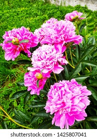 Chic pink shrub peonies on a sunny sammer day.