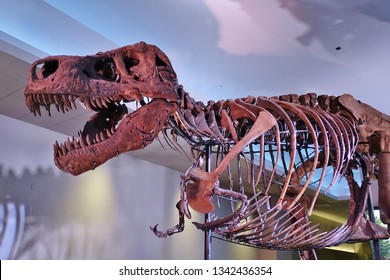 CHICAGO, IL -7 FEB 2019- View of the skeleton of the Tyrannosaurus rex Sue at the Field Museum of Natural History (FMNH) in Chicago.