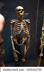 Chicago, IL February 18, 2019, Neanderthal (Homo neanderthalensis or Homo sapiens neanderthalensis) skeleton on display at the Field Museum