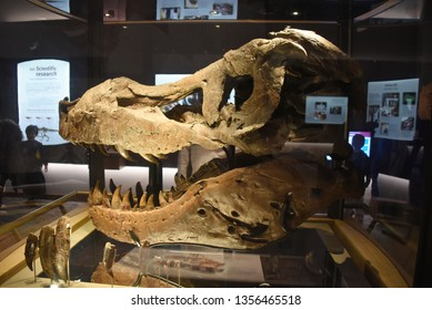 Chicago, IL February 18, 2019, the skull head fossil of Sue the most complete Tyrannosaurus Rex T-Rex dinosaur fossil skeleton in the world on display at the Field Museum