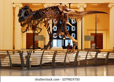 Chicago, IL, USA April 7, 2008 Sue, the most complete T Rex ever found, is on display at the Field Museum in Chicago