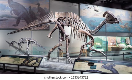 CHICAGO, ILLINOIS - November 1, 2017: Dinosaur skeleton - Fossil skeleton of Parasaurolophus a dinosaur at Sue the Field Museum of Natural History in Chicago, complete fossil discovered