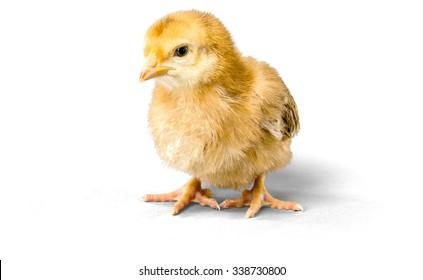 Chick - Baby Chicken