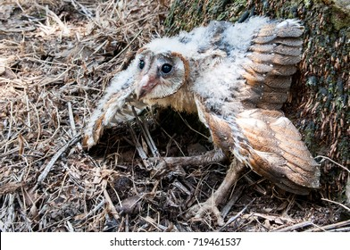 a chick of Barn Owl (tyto alba) about 35 - 40 days in oil palm plantation