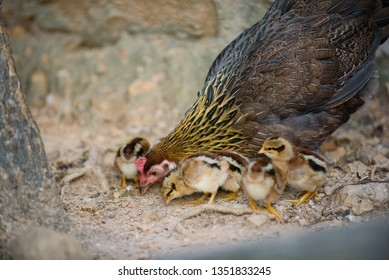 chick with chicken, feeding, hen