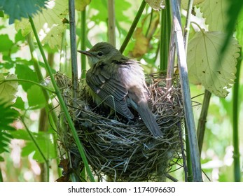 A Chick of Common Cuckoo (Cuculus canorus) in nest of Marsh Warbler (Acrocephalus palustris). Russia, the Ryazan region (Ryazanskaya oblast), the Pronsky District, Denisovo.