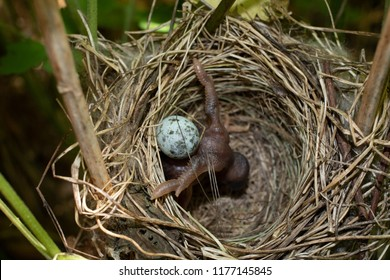 A Chick of Common Cuckoo (Cuculus canorus) in nest of Marsh Warbler (Acrocephalus palustris). Ryazan region (Ryazanskaya oblast), the Pronsky District, Denisovo.