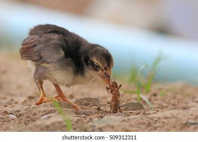Chick feeding.