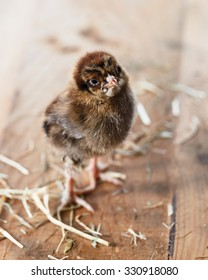 Chick, a few days old