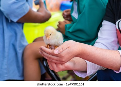 chick in a hand