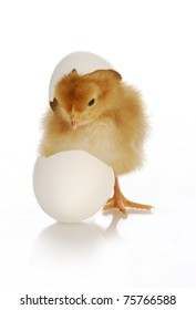 chick hatching - cute newborn chick coming out of the egg on white background