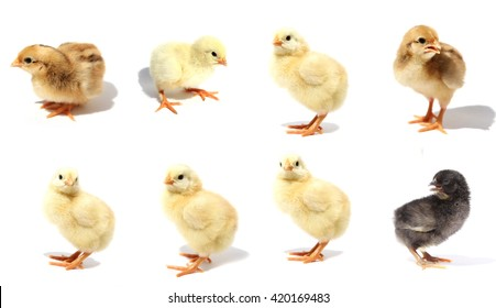 Chick isolated on white background with shadow