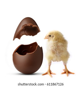 A chick looks inside of a chocolate egg