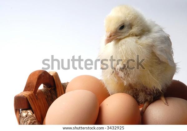 chick near eggs