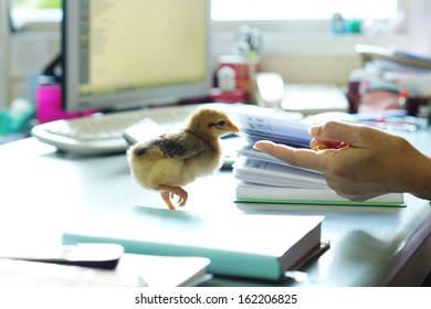A chick on the office desk