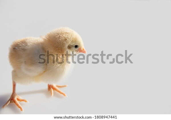 Chick only a few days old isolated on white.