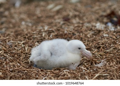 Chick of a Southern Giant Petrel (Macronectes giganteus) in a nest on a beach on Bleaker Island in the Falkland Islands.