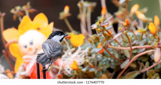 Chickadee black capped chickadee from Kentucky with decoration and feeder