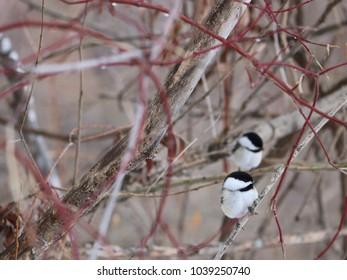 Chickadee couple on a branch