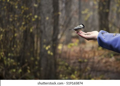 Chickadee eating bird seed from a human hand in the forest