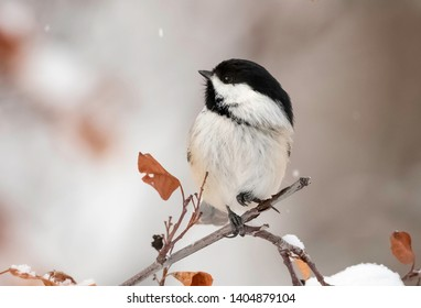 chickadee in the falling snow