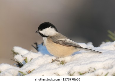 A chickadee looking for food.