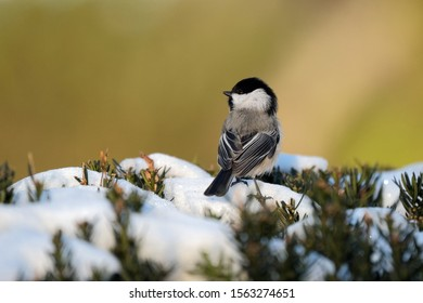 A chickadee on a branch of snow.