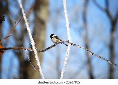chickadee on a crisp cold day