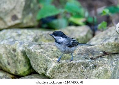 Chickadee on rocky bank of a small stream