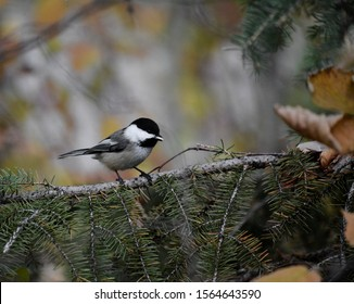 Chickadee on a spruce branch with a seed in its mouth