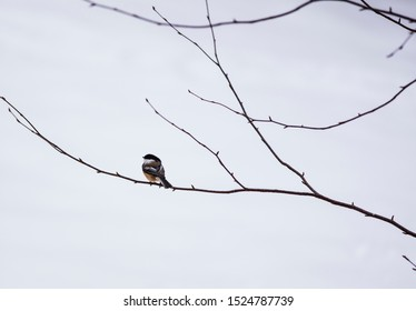 Chickadee on tree branch in winter, Ontario Canada