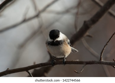 Chickadee perch on a branch in winter staring at the photographer.  Very tame and friendly bird.  One of the regular visitors to to the bird feed house.