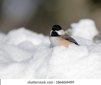 A chickadee perched on a branch after a snow storm.